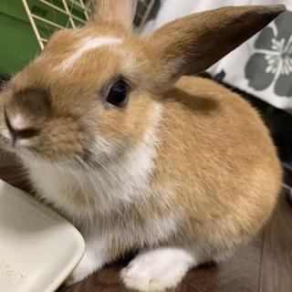 優しい子ウサギお迎えしてください。交渉中