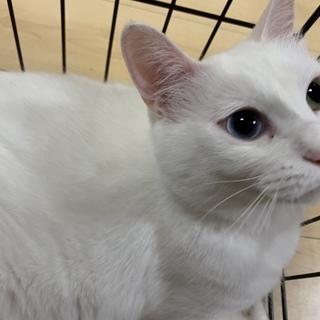 もちもち白猫オッドアイ♂