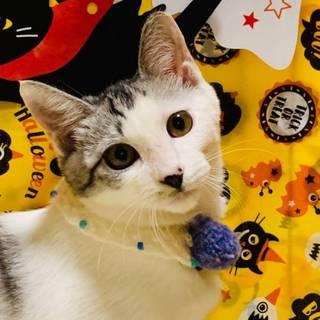 【9/22東日本橋】美猫♡サバ白グレイシーちゃん