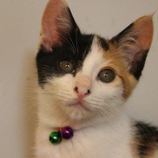 生後2か月可愛い三毛姉妹のカ~ル&パウチ姉妹です