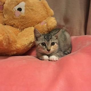 可愛いグレーソックス猫2ヶ月