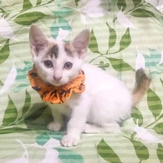 3ヶ月位   美人なトビ三毛 杏ちゃん!