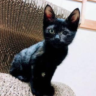【チョコシェーク】ちっちゃな黒猫やんちゃボーイ