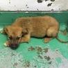 生後2ヶ月程度の野犬の子 オス 120