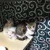 仔猫2匹と母猫