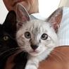 シャム系メスの子猫、とっても人懐っこいです。