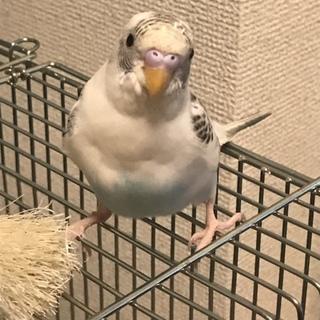 セキセイインコ(4ヶ月)1羽