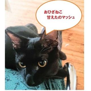 気持の穏やかな育てやすい黒猫マッシュ君