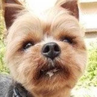 保護犬ナンバーD1326 ヨークシャテリア