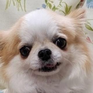 保護犬ナンバーD1346 チワワ ロングコート