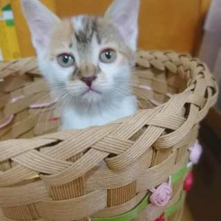 7月生まれ三毛猫系子猫 まいたけちゃん