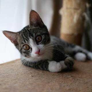 元気いっぱい5月生まれ子猫キジ白女子はっちゃん