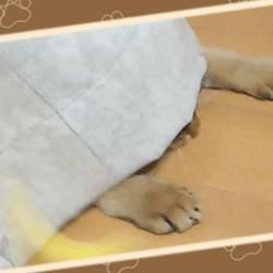 カーテンに隠れて猫じゃらしを狙ううちのソマリです