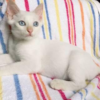 【バニラシェーク】青い目をしたシャムミックス風子猫