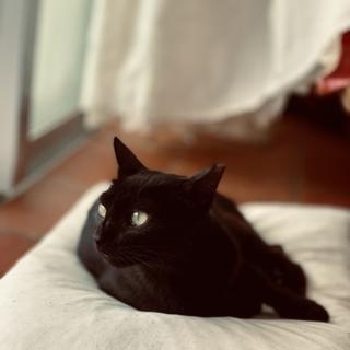 子猫たちは、ずっとのおうちに。黒猫お母さん。