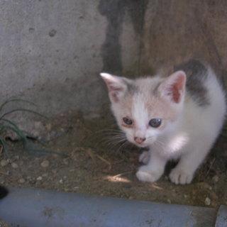 生後1か月弱の三毛猫の小さな子猫です。
