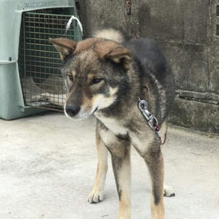 純四国犬(日本犬保存会加入犬)の里親さん急募
