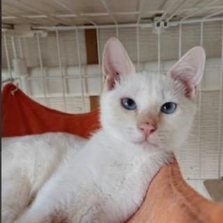 ブルーアイズの白猫ユンくん