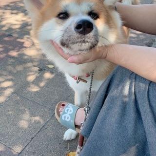 秋田犬1歳7ヶ月(女の子)メス