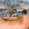 世界最小!水棲 亀さん*ミシシッピニオイガメ サムネイル2