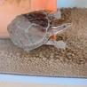 世界最小!水棲 亀さん*ミシシッピニオイガメ サムネイル3