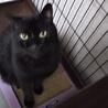 ウキャウキャ鳴いて甘える黒猫リブ君 推定3歳 サムネイル5