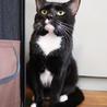 クールなタキシード猫⭐︎ゾフィーくん⭐︎去勢済み
