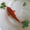 金魚、和金(12〜15cm程)もらってください。