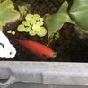 金魚、和金(12〜15cm程)もらってください。 サムネイル4