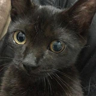 ビキニを着た黒猫の女の子猫