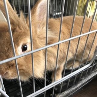 1.4ヶ月のウサギ
