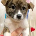 個体識別番号:W589 姉妹の可愛い子犬