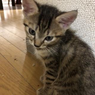 6月生まれのキジネコです。再募集です。