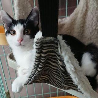 生後半年の姉妹猫おだやか黒白