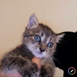 まだまだ赤ちゃん子猫の可愛い黒キジ♀2ヵ月