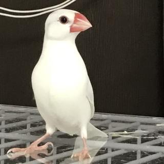 白文鳥 メス 手乗り