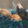 金魚5~6匹の里親募集です