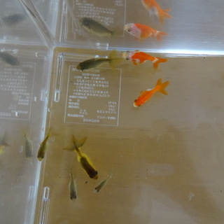 金魚稚魚8匹