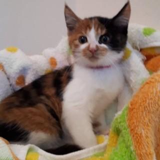 2ヶ月半位  可愛い三毛猫オリーブちゃん!