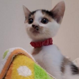 2ヶ月半位  小さな三毛猫チーノちゃん!