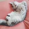 6月に生まれたばかりの仔猫ミヌエット!