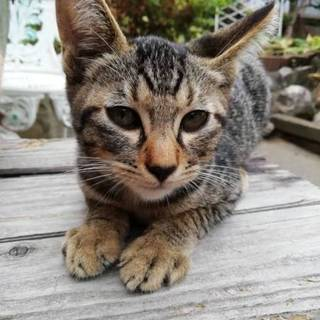 きれいな柄のキジ猫の子猫です!!