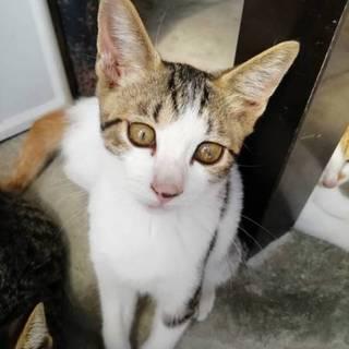 つぶらな瞳のかわいい子猫です。