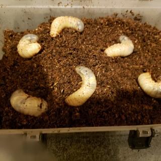 カブトムシの幼虫6匹