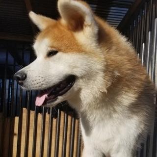 秋田犬 8ヶ月の男の子