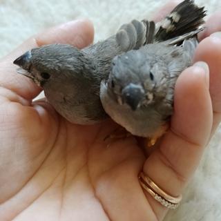 キンカチョウの幼鳥