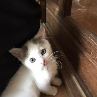 メス猫白くてふわふわの子猫ちゃんです!