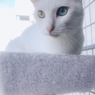 オッドアイ、白猫 、人間