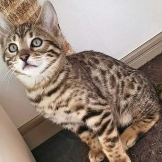 ベンガル猫雄 2歳 血統書付 健康