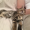 ベンガル猫雄 2歳 血統書付 健康  サムネイル3